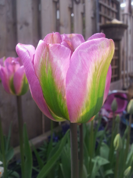 "Pictured <a href=""/greenland.html"">Tulip Greenland</a>"