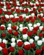 Tulip Seadov