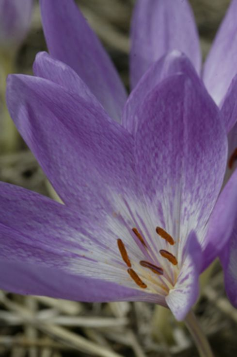 Colchicum The Giant
