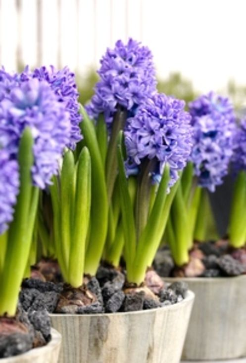 Prepared Hyacinth Delth Blue