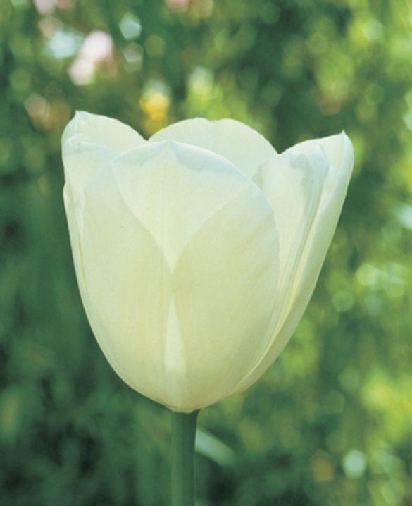 Tulip Maureen