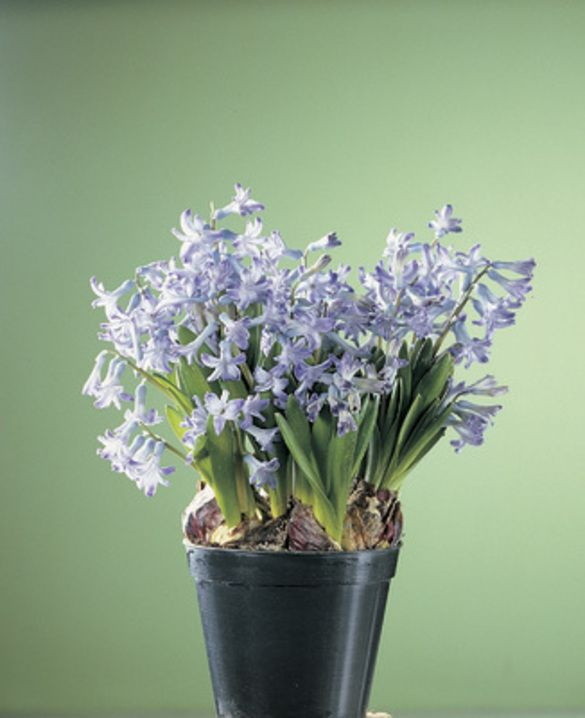 Multiflora Hyacinth Blue Pearl