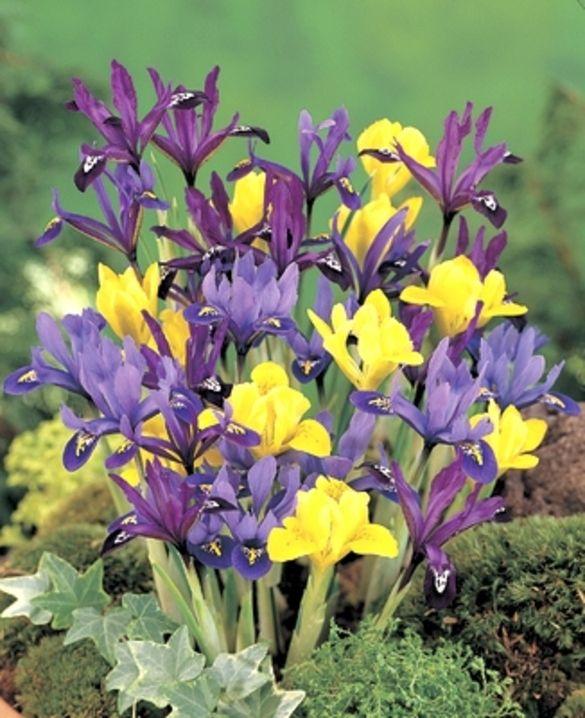 Mélange d'Iris Reticulata