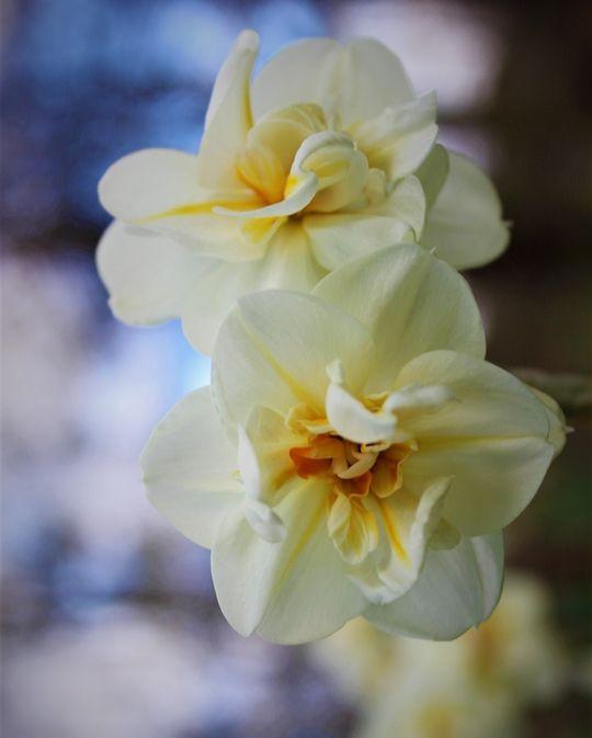 Narcisse d'Intérieur Erlicheer (Jonquille)