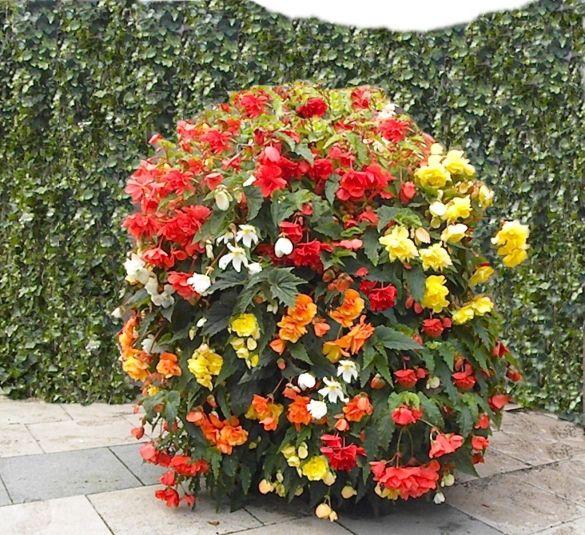 Begonias Retombant Mélange