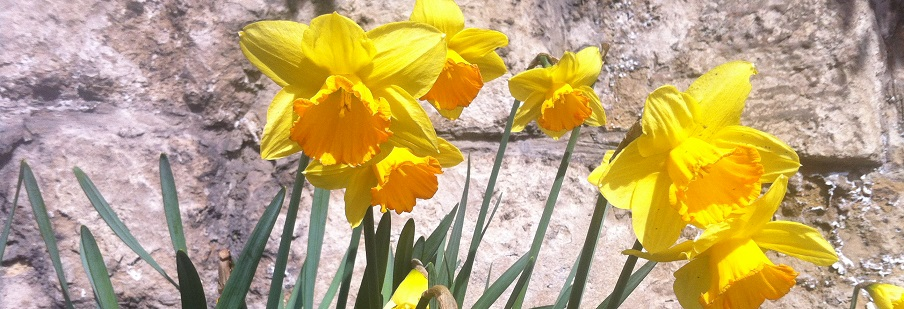 Daffodil and Narcissus Mixtures