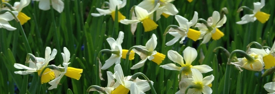 Daffodils & Narcissi by Weight