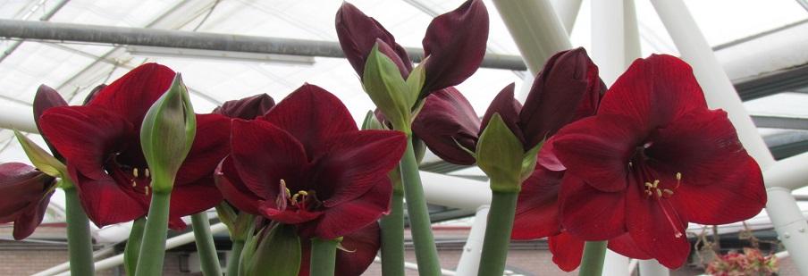 Indoor Flowering Bulbs