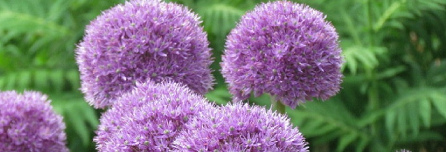 Top 10 Alliums