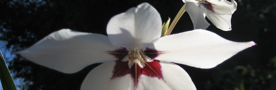 Acidanthera (Callianthus)