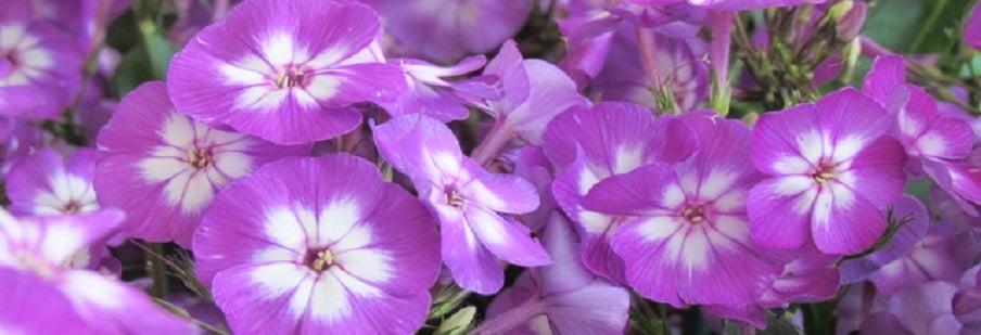 Phlox (Paniculata)