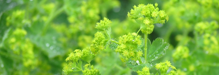 Alchemilla (Ladies Mantle)