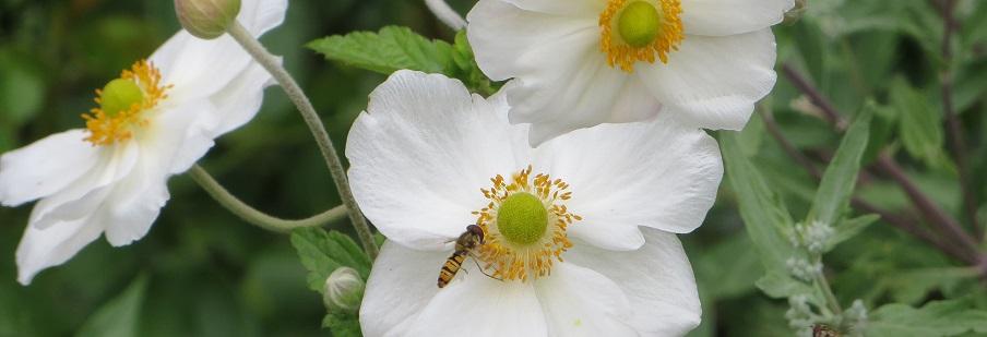 Anemone (Wind Flower)
