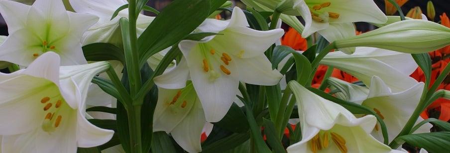 Lilium / Lilies
