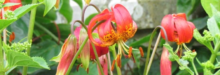 Species Lilies (Turk's Cap)
