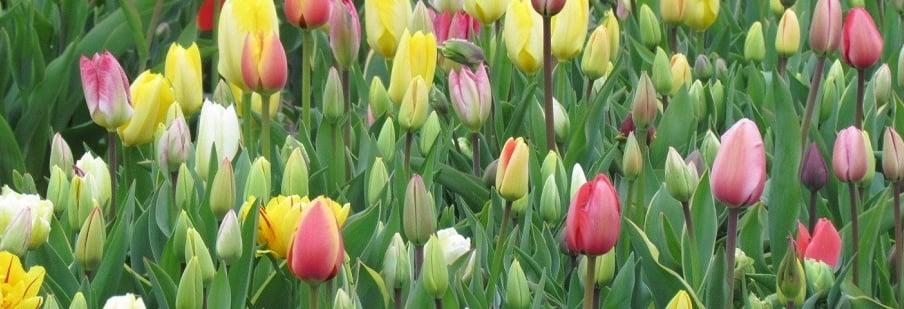 Tulip Mixtures