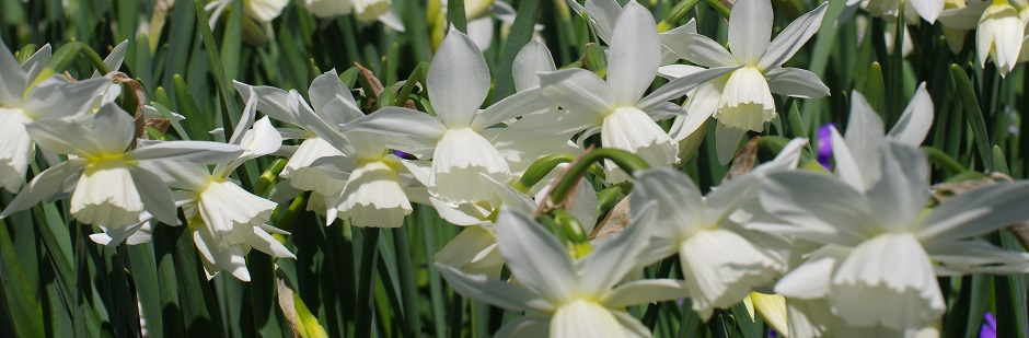 Triandrus Narcissi