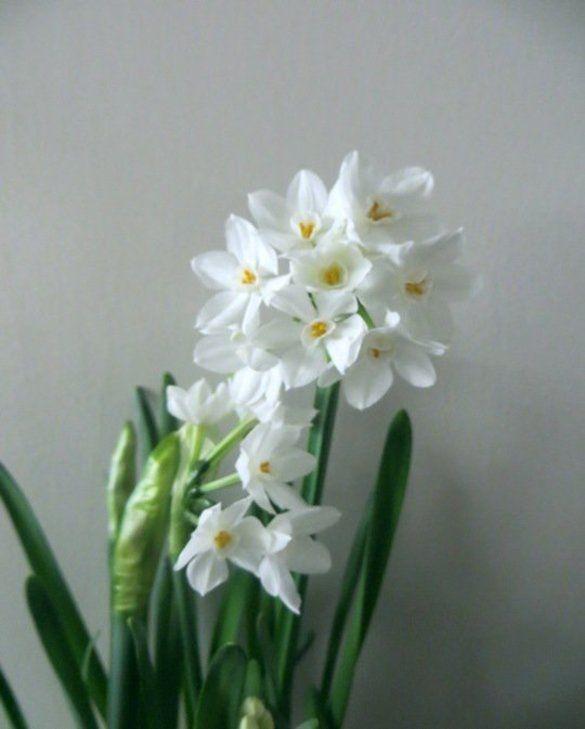 Indoor Flowering Narcissus Paperwhite Ziva