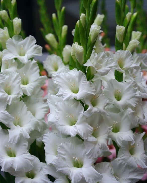 Gladiolus Tarentella