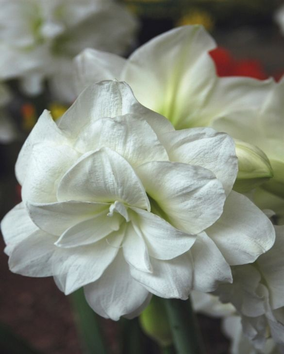 amaryllis-(hippeastrum)Marilyn