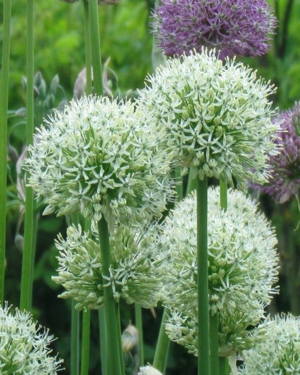 Allium Mount Everest with Allium Globemaster