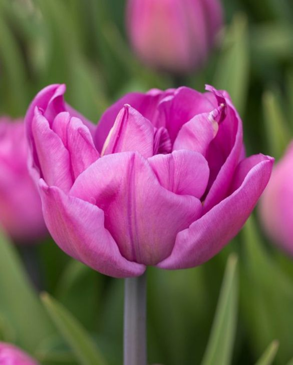 Tulip Backpacker
