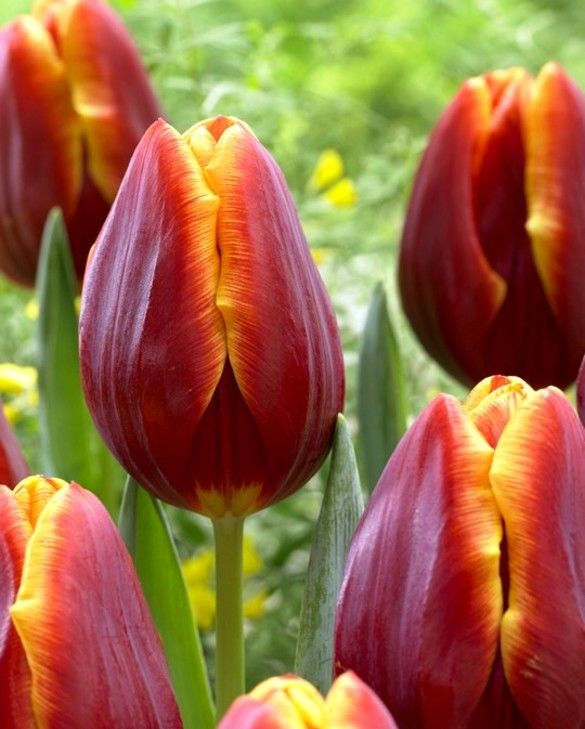 Tulip Devenish