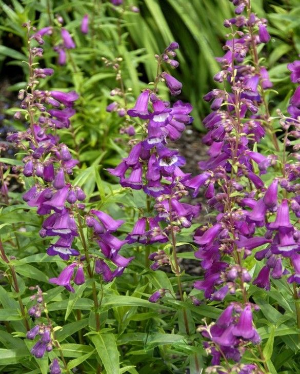 Penstemon Purple Passion (Slangekop)