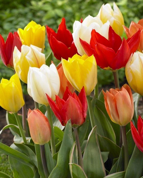 Tulip Fosteriana Mixture
