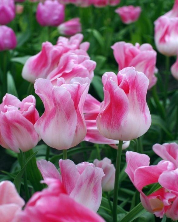 Tulip Holland Chic