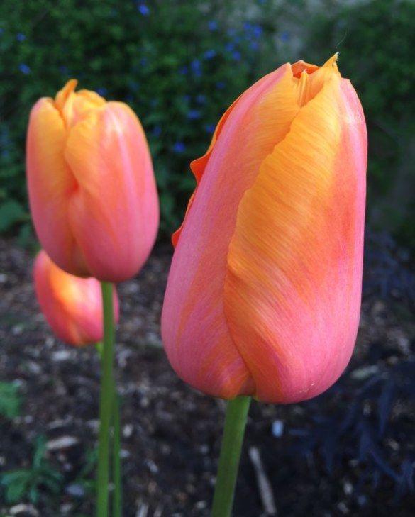 Tulip Dordogne