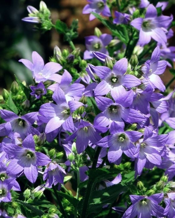 Campanula Border Blues