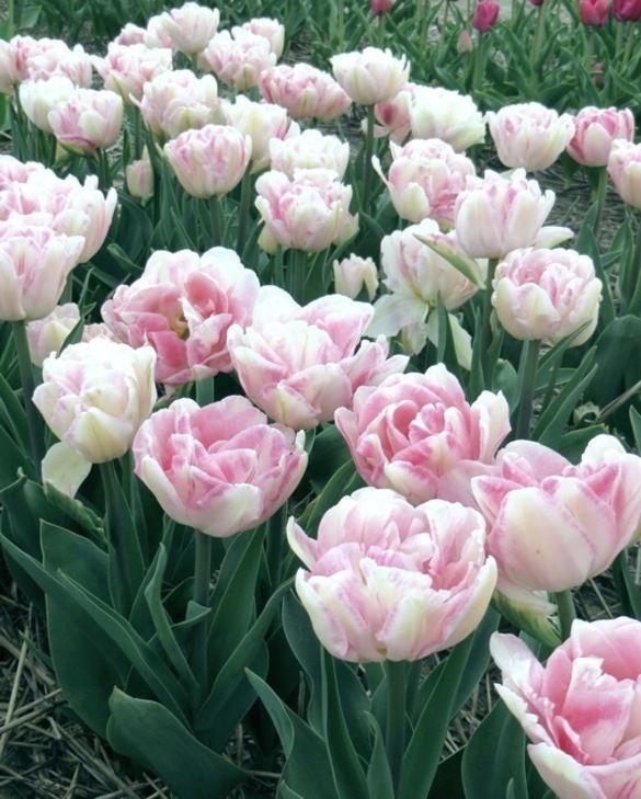 Tulipe Angélique 12/+ cm