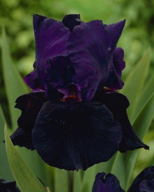 Iris germanica Black Knight