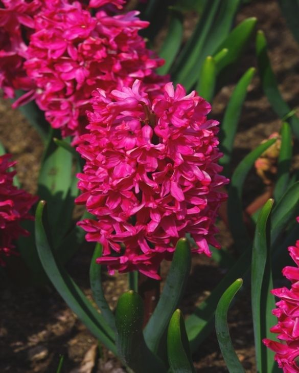 Hyacinth Jan Bos