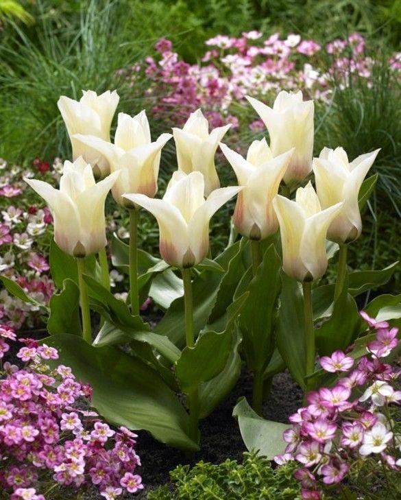 Tulip Janet