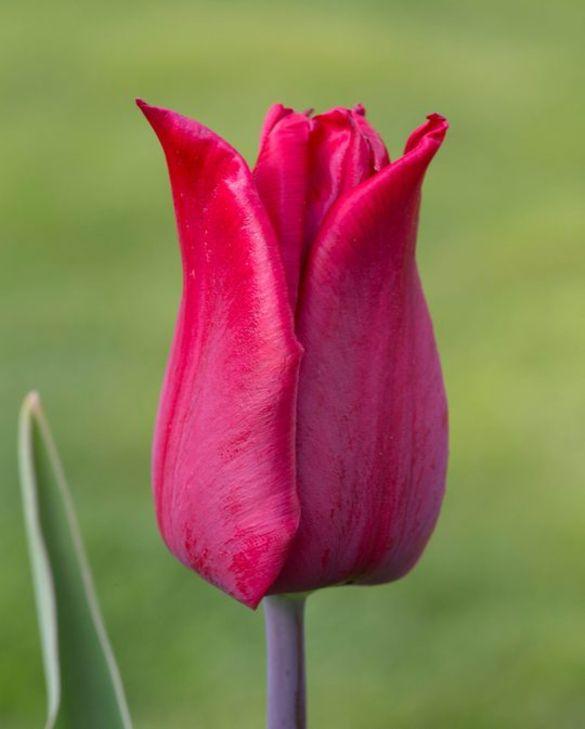 Tulip Lasting Love