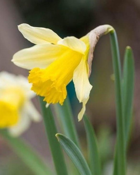 Narcissus Lobularis (Lent Lily)