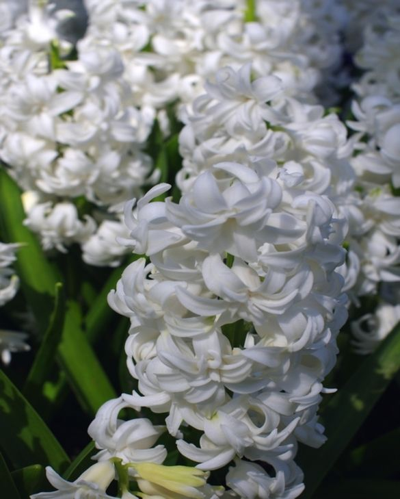 Hyacinth Double Madam Sophie
