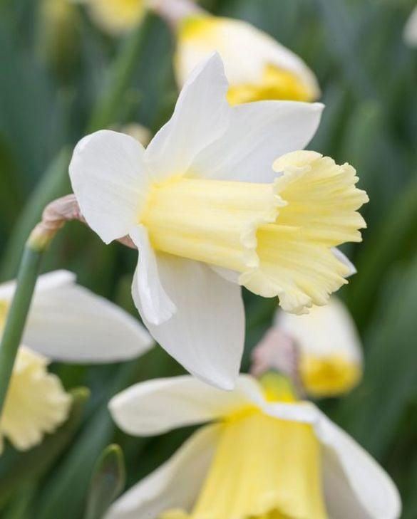 Narcissus Mount Hood