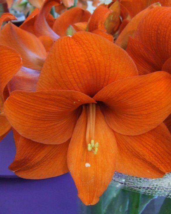 Amaryllis (Hippeastrum) Naranja