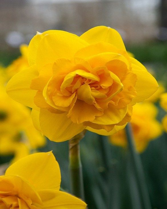 Narcissus Heamoor
