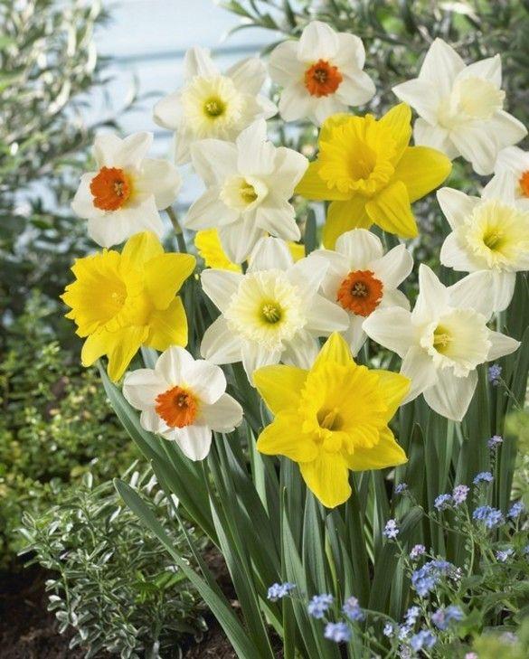 Narcissus Mixture