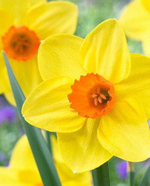 Narcissus Sealing Wax
