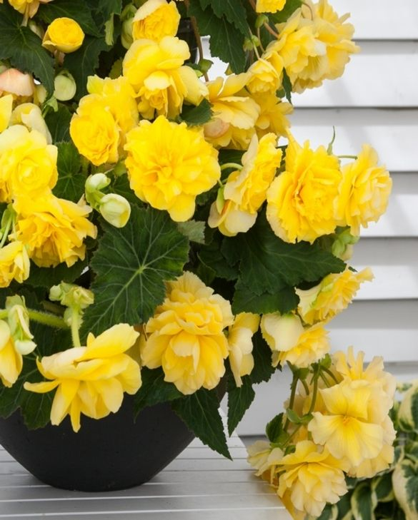 Bégonia Odorosa Yellow Flame