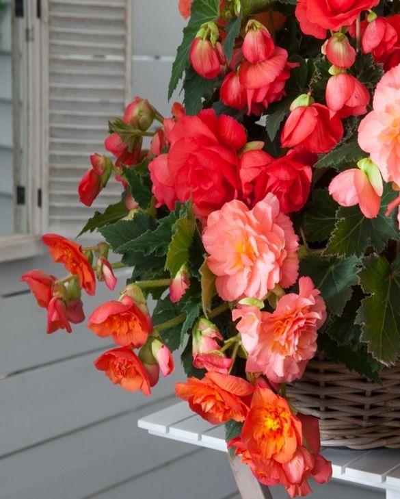 Bégonia Odorosa Sweet Pink
