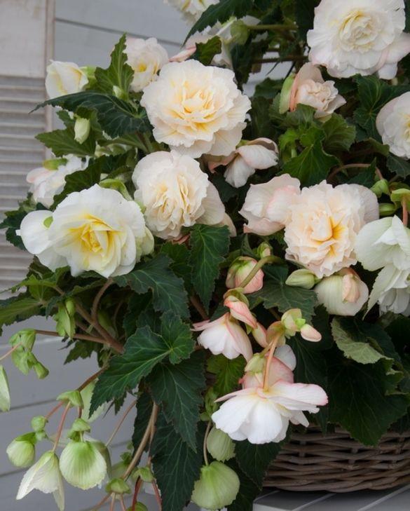 Begonia Odorosa White Blush