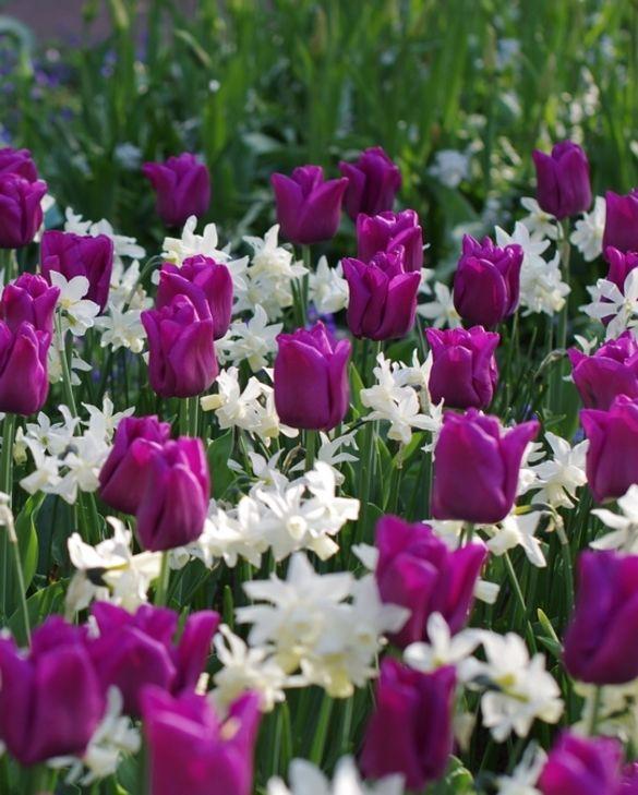 Tulip Passionale