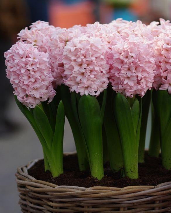 Hyacinth Pink Elephant