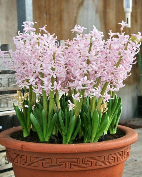 Hyacinth Pink Festival